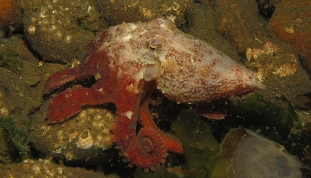 7. Red Octo