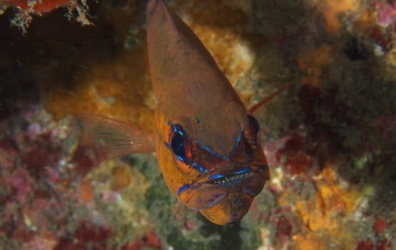 cardinalfish with eggs!