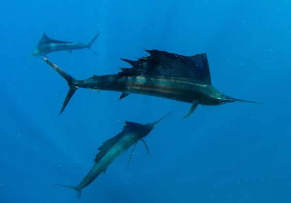 Atlantic sailfish (Istiophorus albicans). The white flecks in the water are scales from the sardines, which are now in the bellies of the sailfish. These glittering remains were always a tell-tale sign of where a feeding frenzy had taken place, and often nothing was left in a big patch of blue water except the scales as the sailfish (and the sardines with them) had long since moved on.