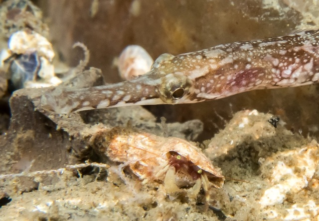 bay pipefish and hermit crab