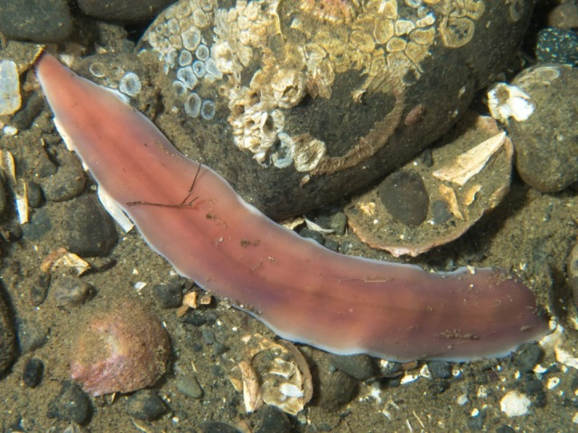 light-edged ribbon worm
