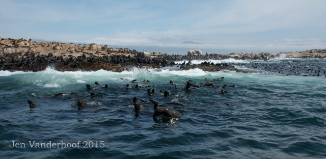 The Cape fur seal nursery near Simonstown, South Africa.