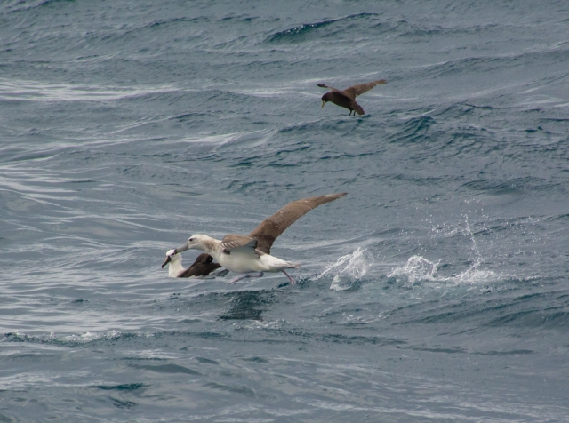 Atlantic Yellow-nosed Albatross and Black-browed Albatross!