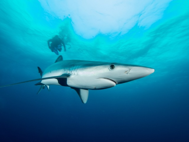 Blue shark with diver.