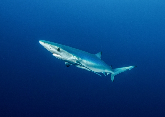 Beautiful blue shark.