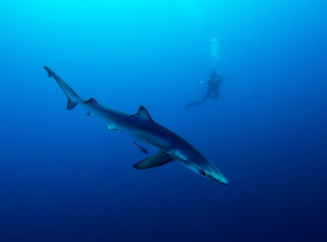 Blue shark with pilot fish.