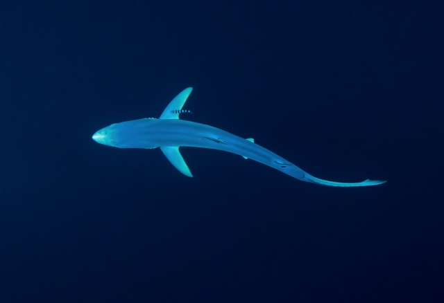 Blue shark with pilot fish, from above.