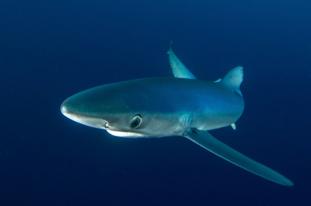 Blue shark curious about me.