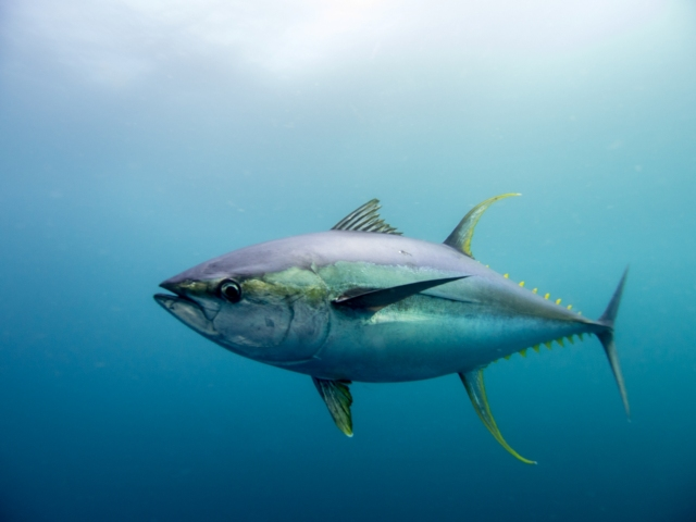 Yellow-fin tuna.