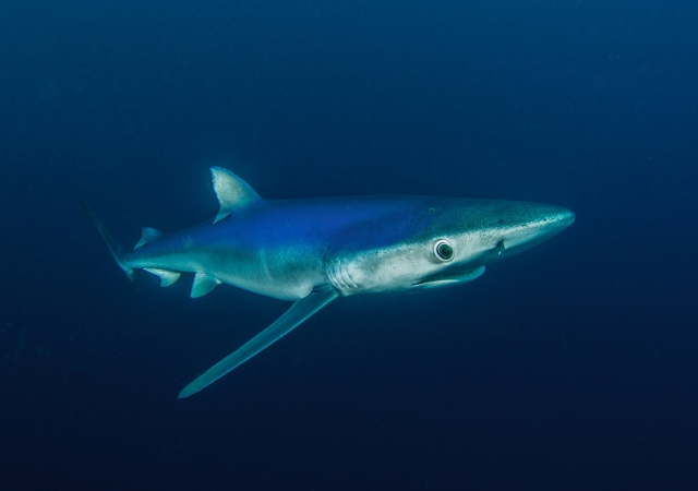 The beautiful blue shark, Prionace glauca.