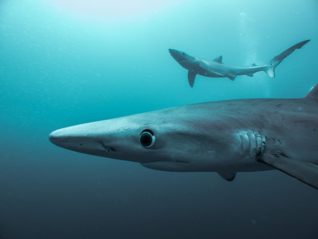 Two blue sharks.