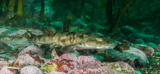 Sweet little shy catshark -- not being shy.