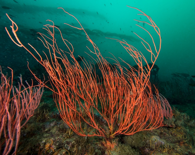 Red gorgonian on our final day, Santa Cruz Island.