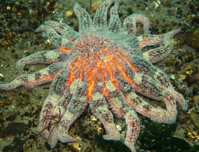 Giant sunflower star.